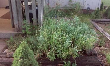 Sage, oregano, rosemary, thyme